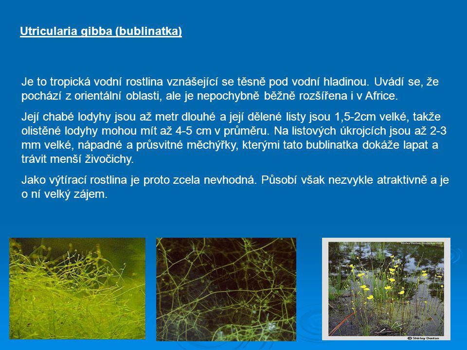 Utricularia gibba (bublinatka) Je to tropická vodní rostlina vznášející se těsně pod vodní hladinou. Uvádí se, že pochází z orientální oblasti, ale je