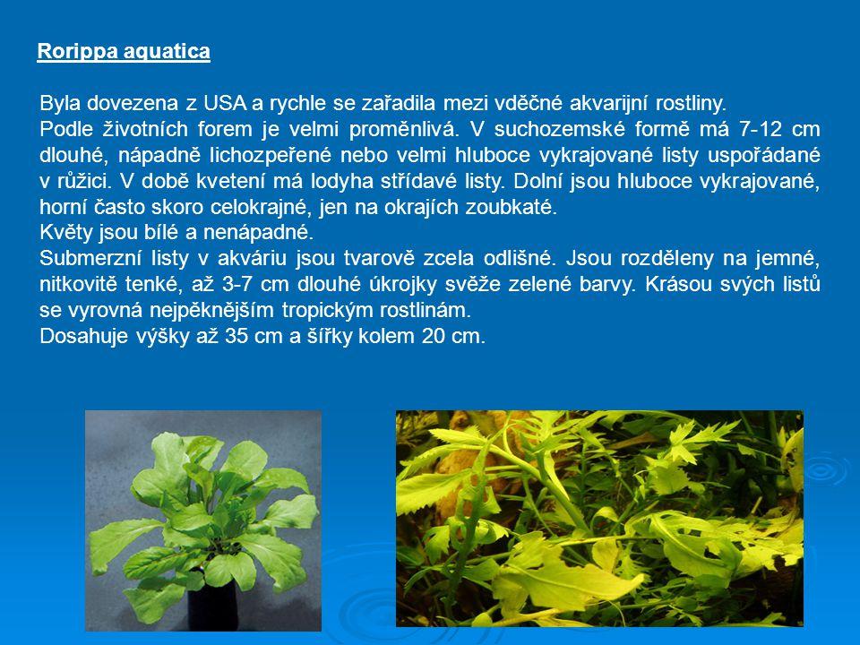 Rorippa aquatica Byla dovezena z USA a rychle se zařadila mezi vděčné akvarijní rostliny. Podle životních forem je velmi proměnlivá. V suchozemské for
