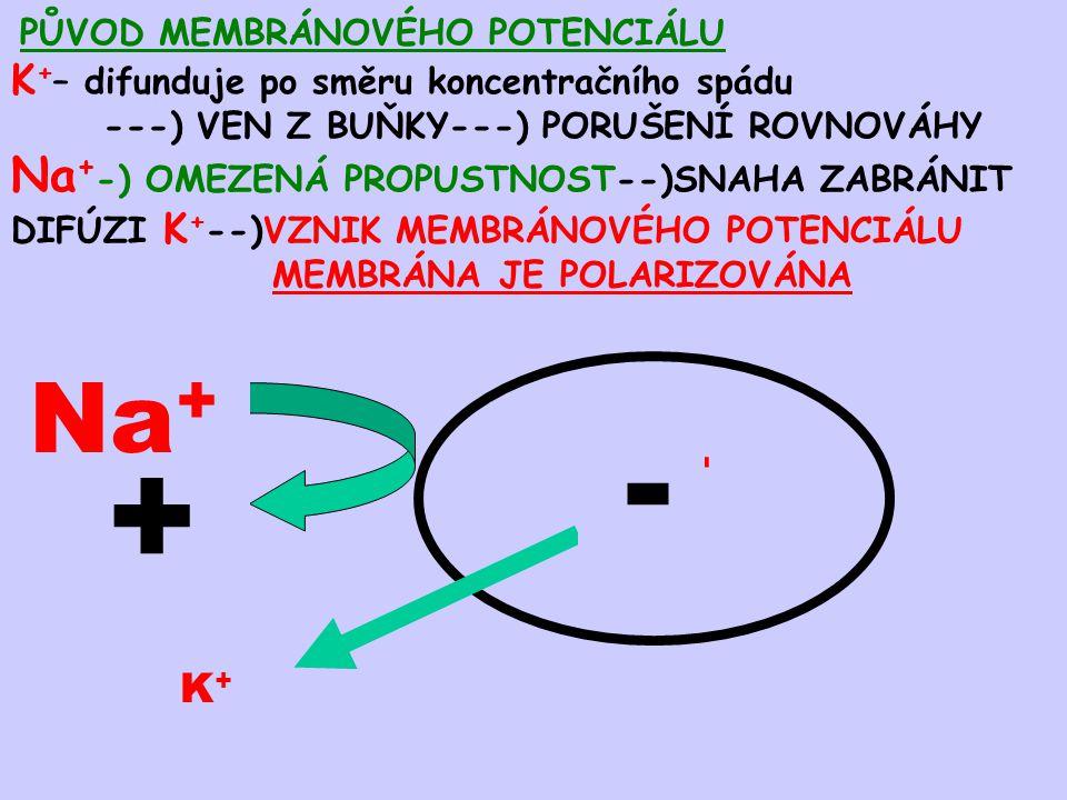 PŮVOD MEMBRÁNOVÉHO POTENCIÁLU K + – difunduje po směru koncentračního spádu ---) VEN Z BUŇKY---) PORUŠENÍ ROVNOVÁHY Na + -) OMEZENÁ PROPUSTNOST--)SNAH
