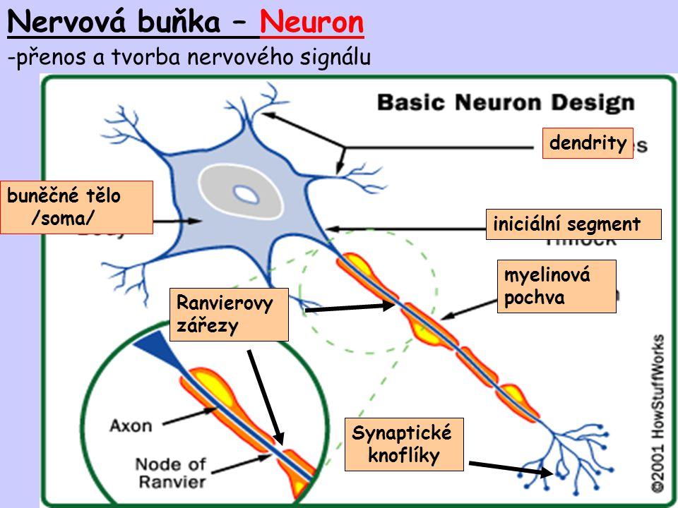 Nervová buňka – Neuron -přenos a tvorba nervového signálu dendrity buněčné tělo /soma/ iniciální segment myelinová pochva Ranvierovy zářezy Synaptické
