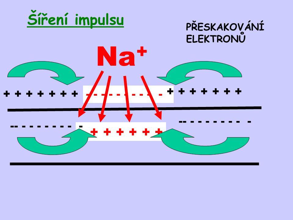 - - - - - Šíření impulsu Na + + + + -- - - - - - - - - + + + + + + + PŘESKAKOVÁNÍ ELEKTRONŮ