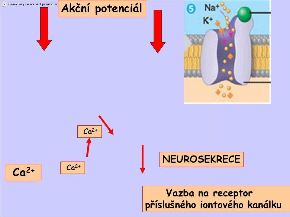 Akční potenciál Ca 2+ NEUROSEKRECE Vazba na receptor příslušného iontového kanálku