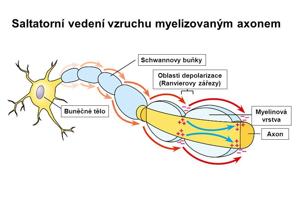 Saltatorní vedení vzruchu myelizovaným axonem Buněčné tělo Schwannovy buňky Myelinová vrstva Axon Oblasti depolarizace (Ranvierovy zářezy)