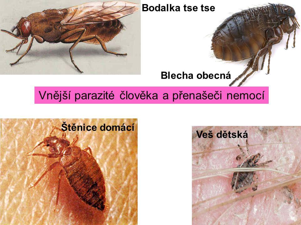 Vnější parazité člověka a přenašeči nemocí Štěnice domácí Veš dětská Blecha obecná Bodalka tse tse