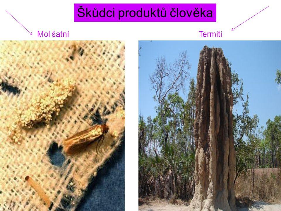 Škůdci produktů člověka Mol šatníTermiti