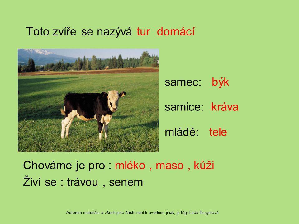 Toto zvíře se nazývá tur domácí samec: býk samice: kráva mládě: tele Chováme je pro : mléko, maso, kůži Živí se : trávou, senem Autorem materiálu a vš