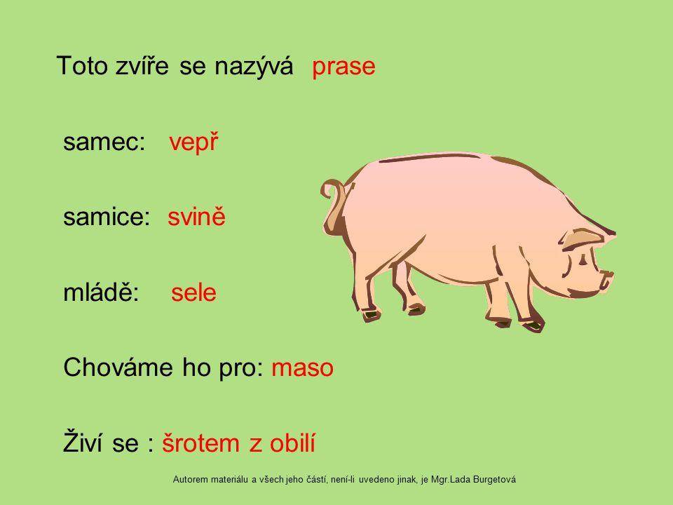 Toto zvíře se nazývá prase samec: vepř samice: svině mládě: sele Chováme ho pro: maso Živí se : šrotem z obilí Autorem materiálu a všech jeho částí, n
