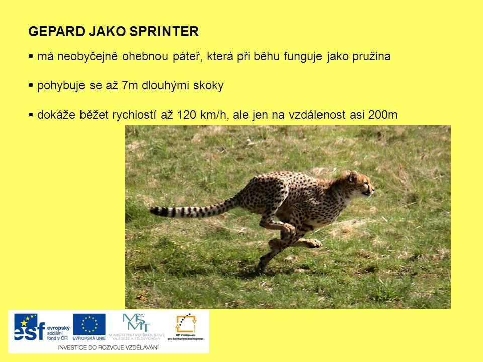 GEPARD JAKO SPRINTER  má neobyčejně ohebnou páteř, která při běhu funguje jako pružina  pohybuje se až 7m dlouhými skoky  dokáže běžet rychlostí až 120 km/h, ale jen na vzdálenost asi 200m