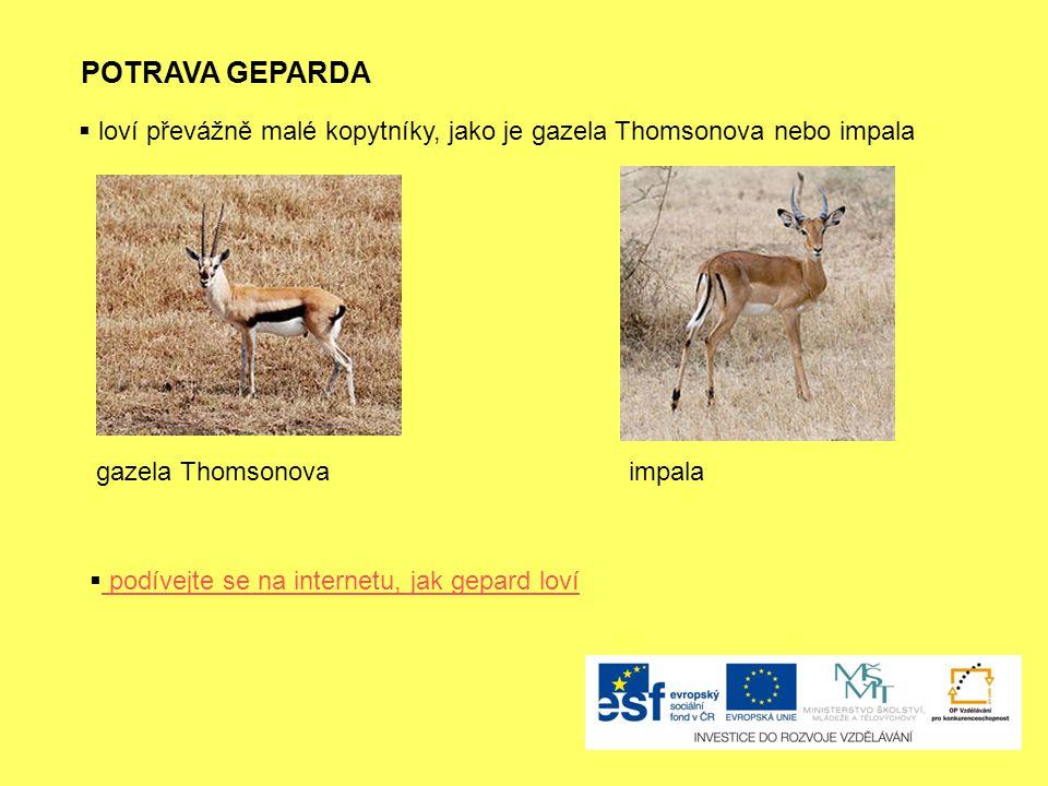 POTRAVA GEPARDA  loví převážně malé kopytníky, jako je gazela Thomsonova nebo impala gazela Thomsonovaimpala  podívejte se na internetu, jak gepard loví podívejte se na internetu, jak gepard loví