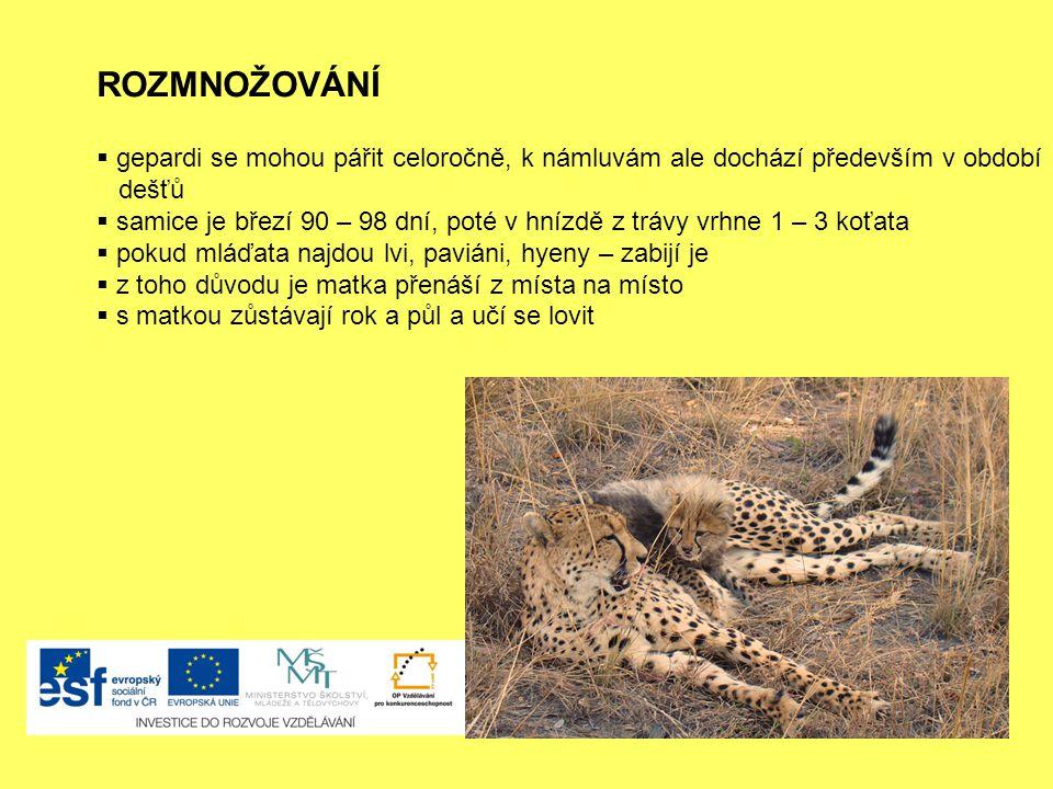 ROZMNOŽOVÁNÍ  gepardi se mohou pářit celoročně, k námluvám ale dochází především v období dešťů  samice je březí 90 – 98 dní, poté v hnízdě z trávy vrhne 1 – 3 koťata  pokud mláďata najdou lvi, paviáni, hyeny – zabijí je  z toho důvodu je matka přenáší z místa na místo  s matkou zůstávají rok a půl a učí se lovit