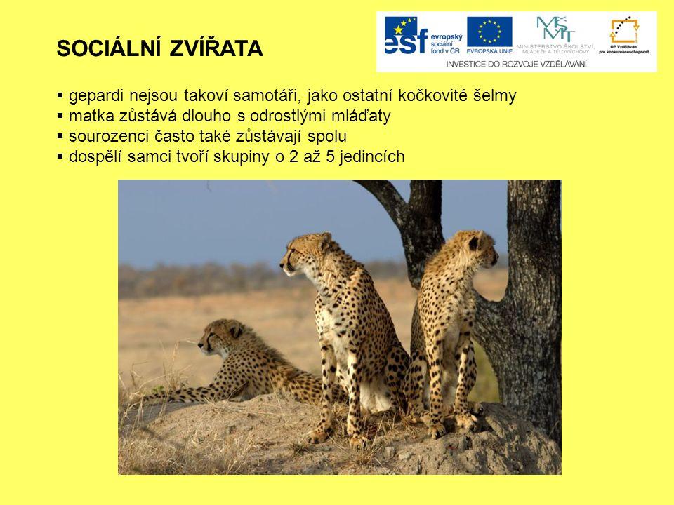 SOCIÁLNÍ ZVÍŘATA  gepardi nejsou takoví samotáři, jako ostatní kočkovité šelmy  matka zůstává dlouho s odrostlými mláďaty  sourozenci často také zůstávají spolu  dospělí samci tvoří skupiny o 2 až 5 jedincích