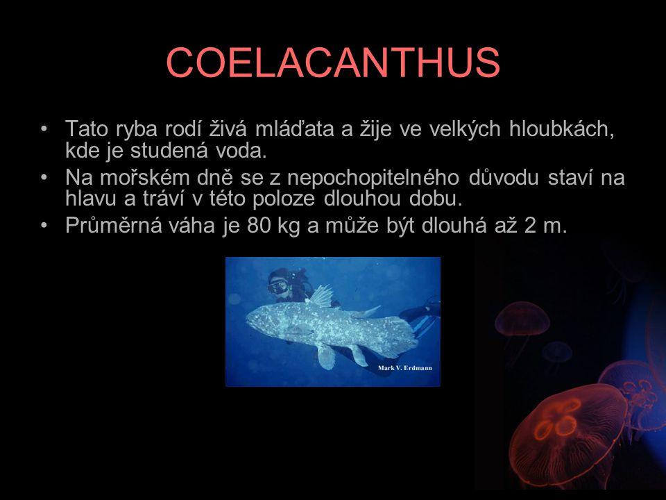 COELACANTHUS Tato ryba rodí živá mláďata a žije ve velkých hloubkách, kde je studená voda. Na mořském dně se z nepochopitelného důvodu staví na hlavu