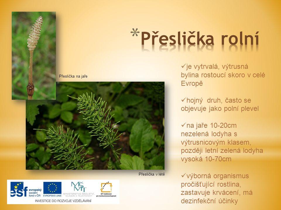 Přeslička na jaře Přeslička v létě je vytrvalá, výtrusná bylina rostoucí skoro v celé Evropě hojný druh, často se objevuje jako polní plevel na jaře 1