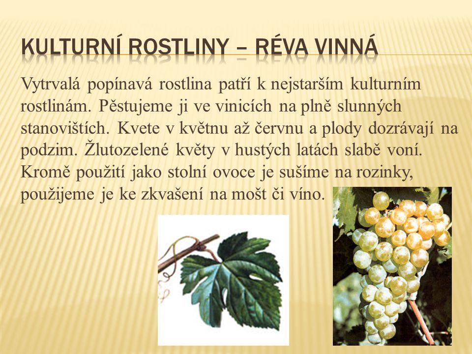 Vytrvalá popínavá rostlina patří k nejstarším kulturním rostlinám. Pěstujeme ji ve vinicích na plně slunných stanovištích. Kvete v květnu až červnu a
