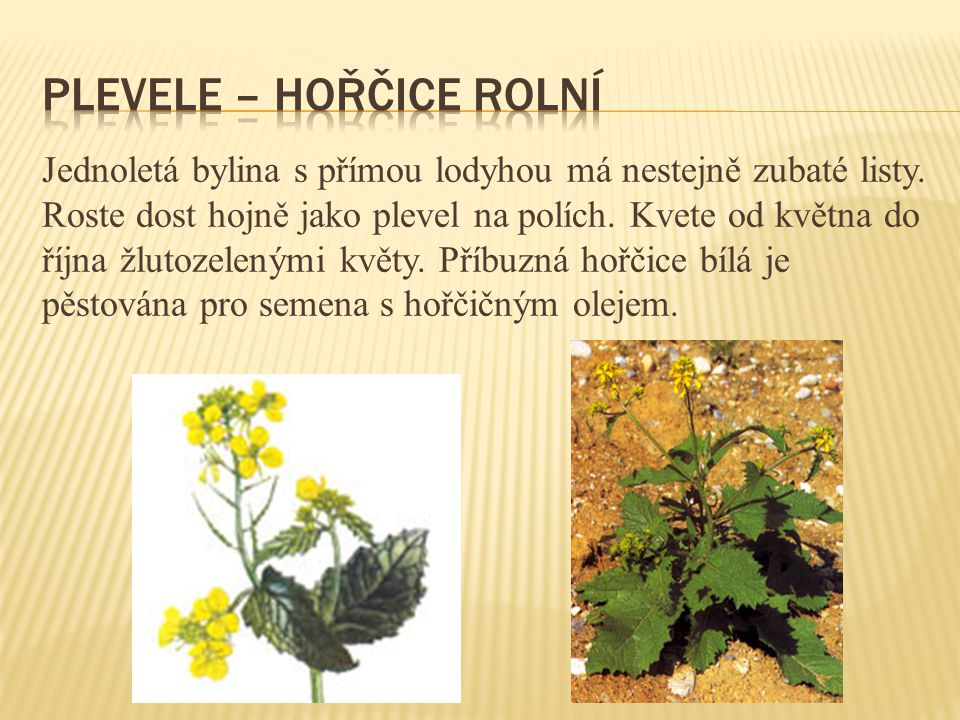 Jednoletá bylina s přímou lodyhou má nestejně zubaté listy. Roste dost hojně jako plevel na polích. Kvete od května do října žlutozelenými květy. Příb