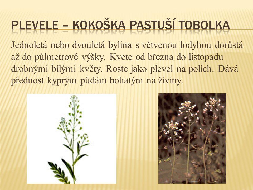 Jednoletá nebo dvouletá bylina s větvenou lodyhou dorůstá až do půlmetrové výšky. Kvete od března do listopadu drobnými bílými květy. Roste jako pleve