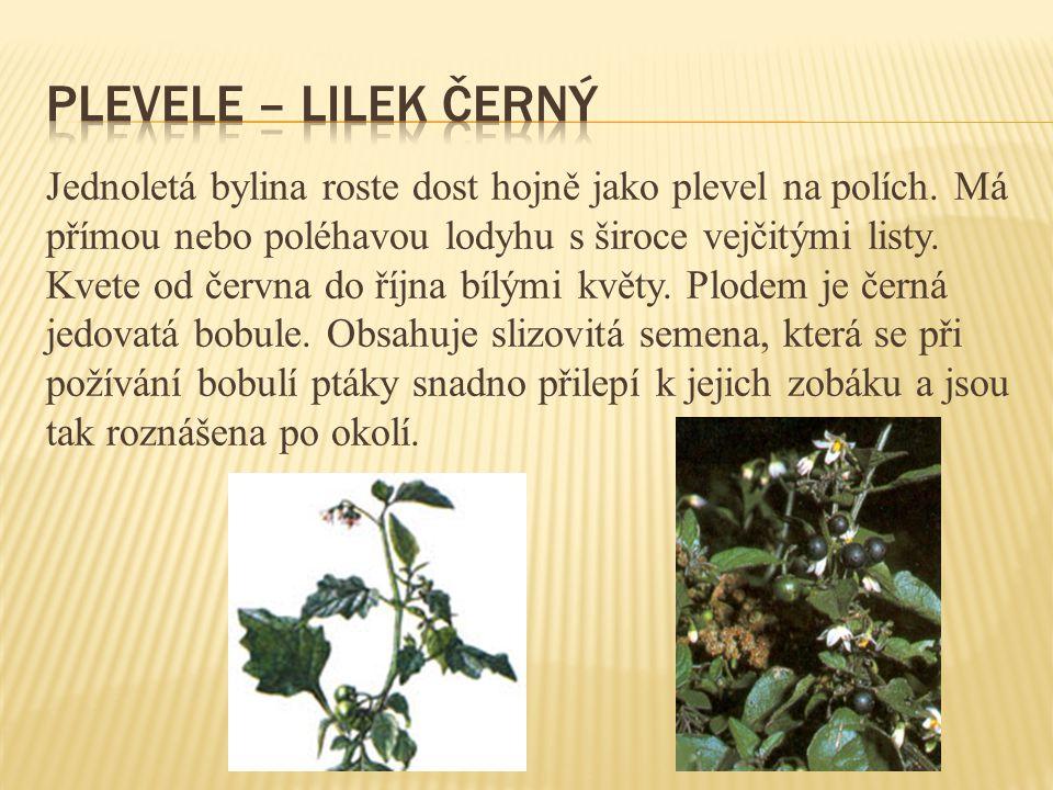 Jednoletá bylina roste dost hojně jako plevel na polích. Má přímou nebo poléhavou lodyhu s široce vejčitými listy. Kvete od června do října bílými kvě