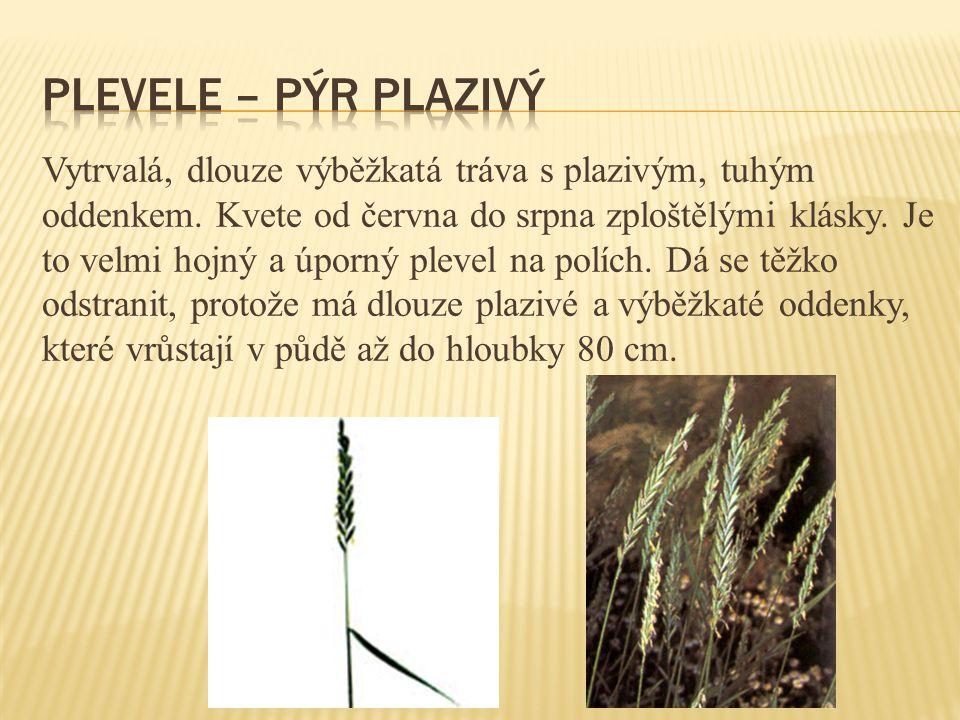 Vytrvalá, dlouze výběžkatá tráva s plazivým, tuhým oddenkem. Kvete od června do srpna zploštělými klásky. Je to velmi hojný a úporný plevel na polích.