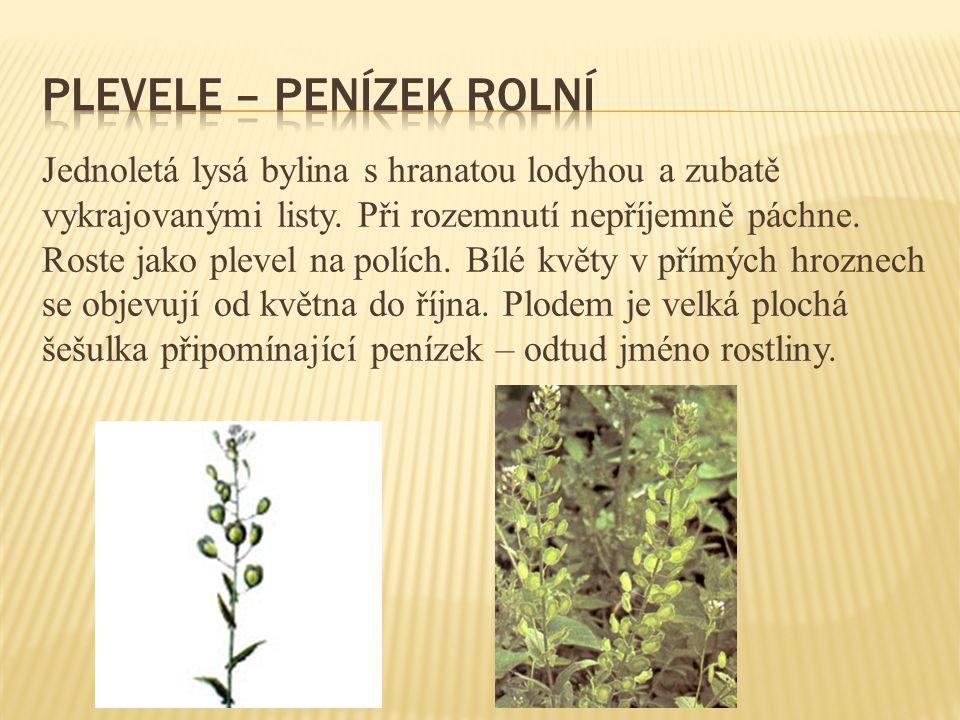Jednoletá lysá bylina s hranatou lodyhou a zubatě vykrajovanými listy. Při rozemnutí nepříjemně páchne. Roste jako plevel na polích. Bílé květy v přím