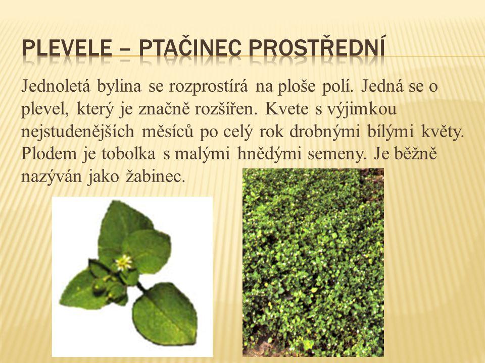 Jednoletá bylina se rozprostírá na ploše polí. Jedná se o plevel, který je značně rozšířen. Kvete s výjimkou nejstudenějších měsíců po celý rok drobný