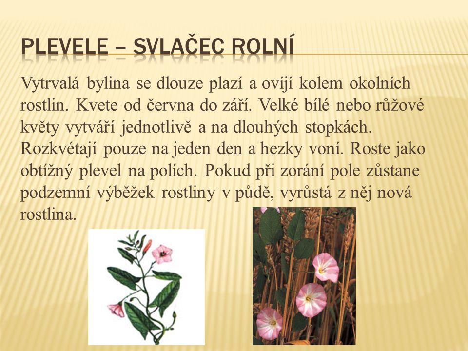 Vytrvalá bylina se dlouze plazí a ovíjí kolem okolních rostlin. Kvete od června do září. Velké bílé nebo růžové květy vytváří jednotlivě a na dlouhých