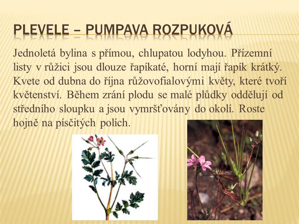 Jednoletá bylina s přímou, chlupatou lodyhou. Přízemní listy v růžici jsou dlouze řapíkaté, horní mají řapík krátký. Kvete od dubna do října růžovofia