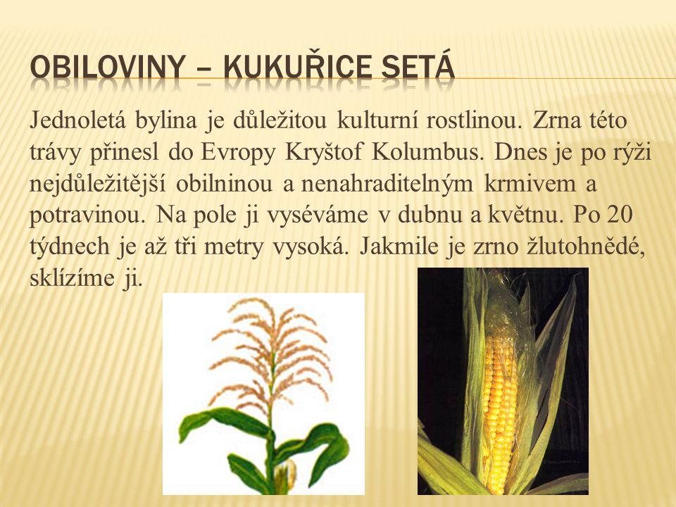 Jednoletá bylina je důležitou kulturní rostlinou. Zrna této trávy přinesl do Evropy Kryštof Kolumbus. Dnes je po rýži nejdůležitější obilninou a nenah