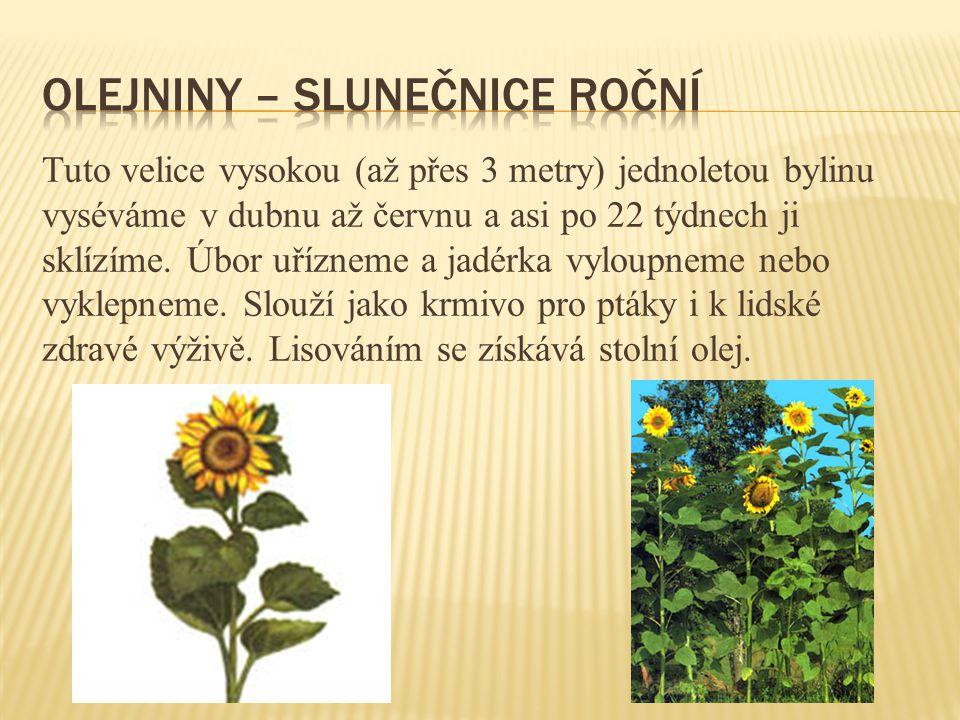 Vytrvalá, až 80 cm vysoká bylina s tuhou, přímou lodyhou a trojčetnými listy.