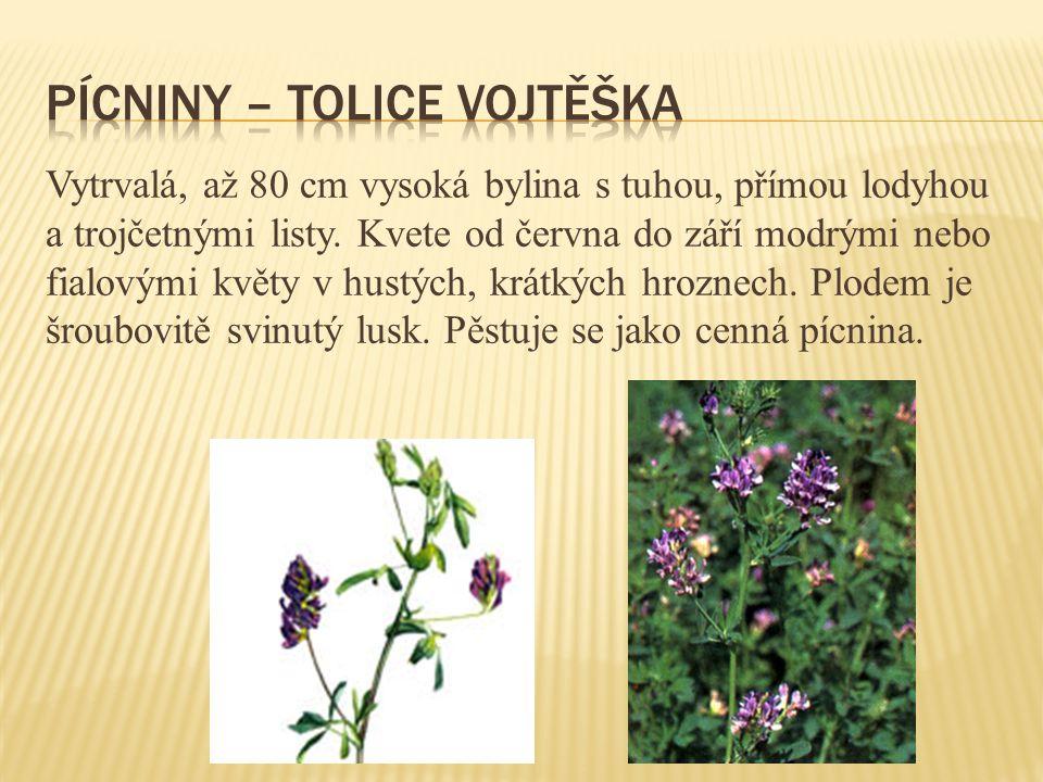 Vytrvalá, až 80 cm vysoká bylina s tuhou, přímou lodyhou a trojčetnými listy. Kvete od června do září modrými nebo fialovými květy v hustých, krátkých