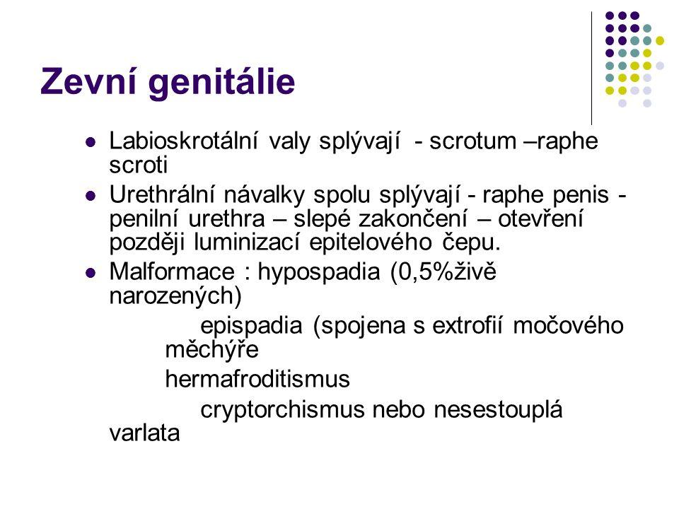Zevní genitálie Labioskrotální valy splývají - scrotum –raphe scroti Urethrální návalky spolu splývají - raphe penis - penilní urethra – slepé zakončení – otevření později luminizací epitelového čepu.
