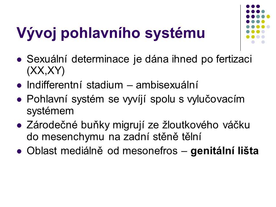 Vývoj pohlavního systému Sexuální determinace je dána ihned po fertizaci (XX,XY) Indifferentní stadium – ambisexuální Pohlavní systém se vyvíjí spolu s vylučovacím systémem Zárodečné buňky migrují ze žloutkového váčku do mesenchymu na zadní stěně tělní Oblast mediálně od mesonefros – genitální lišta