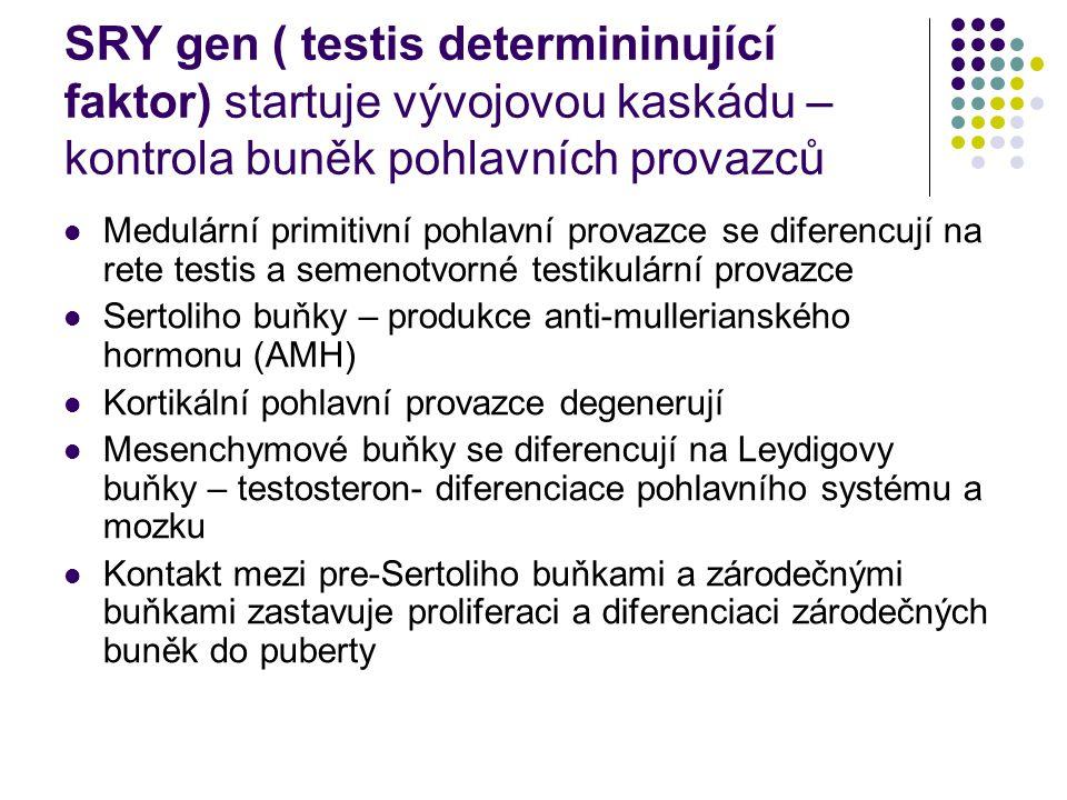 SRY gen ( testis determininující faktor) startuje vývojovou kaskádu – kontrola buněk pohlavních provazců Medulární primitivní pohlavní provazce se diferencují na rete testis a semenotvorné testikulární provazce Sertoliho buňky – produkce anti-mullerianského hormonu (AMH) Kortikální pohlavní provazce degenerují Mesenchymové buňky se diferencují na Leydigovy buňky – testosteron- diferenciace pohlavního systému a mozku Kontakt mezi pre-Sertoliho buňkami a zárodečnými buňkami zastavuje proliferaci a diferenciaci zárodečných buněk do puberty