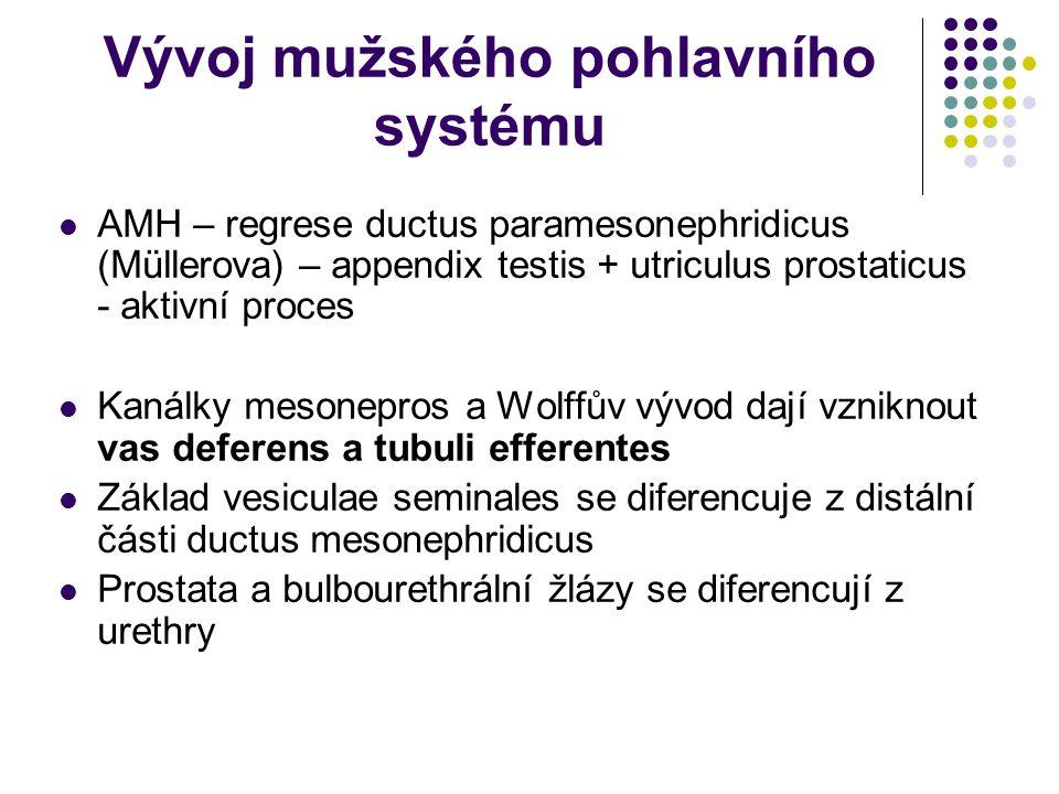 Vývoj mužského pohlavního systému AMH – regrese ductus paramesonephridicus (Müllerova) – appendix testis + utriculus prostaticus - aktivní proces Kanálky mesonepros a Wolffův vývod dají vzniknout vas deferens a tubuli efferentes Základ vesiculae seminales se diferencuje z distální části ductus mesonephridicus Prostata a bulbourethrální žlázy se diferencují z urethry