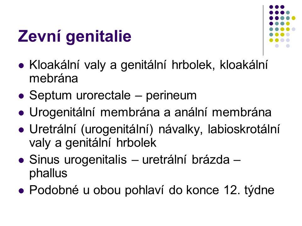 Zevní genitalie Kloakální valy a genitální hrbolek, kloakální mebrána Septum urorectale – perineum Urogenitální membrána a anální membrána Uretrální (urogenitální) návalky, labioskrotální valy a genitální hrbolek Sinus urogenitalis – uretrální brázda – phallus Podobné u obou pohlaví do konce 12.