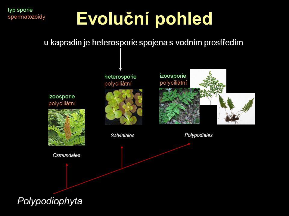 Evoluční pohled typ sporie spermatozoidy Polypodiophyta Osmundales Salviniales Polypodiales heterosporie polyciliátní izoosporie polyciliátní izoospor
