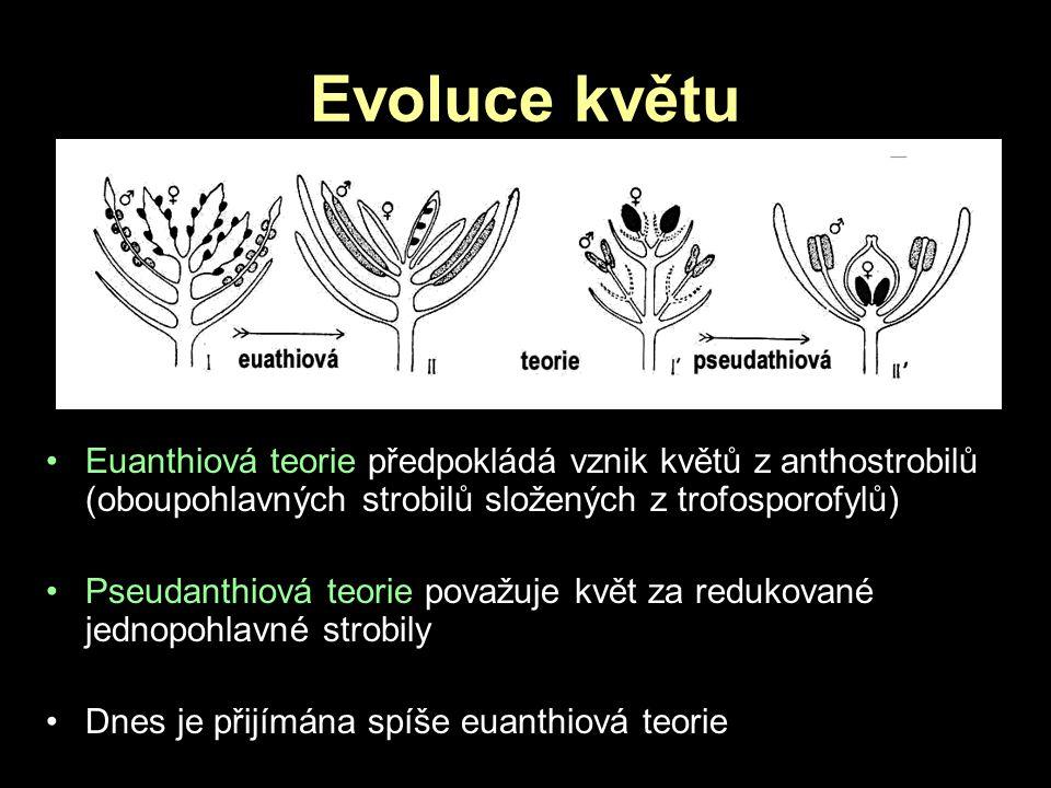 Evoluce květu Euanthiová teorie předpokládá vznik květů z anthostrobilů (oboupohlavných strobilů složených z trofosporofylů) Pseudanthiová teorie pova
