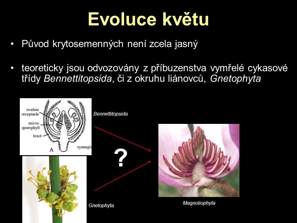 Evoluce květu Původ krytosemenných není zcela jasný teoreticky jsou odvozovány z příbuzenstva vymřelé cykasové třídy Bennettitopsida, či z okruhu lián