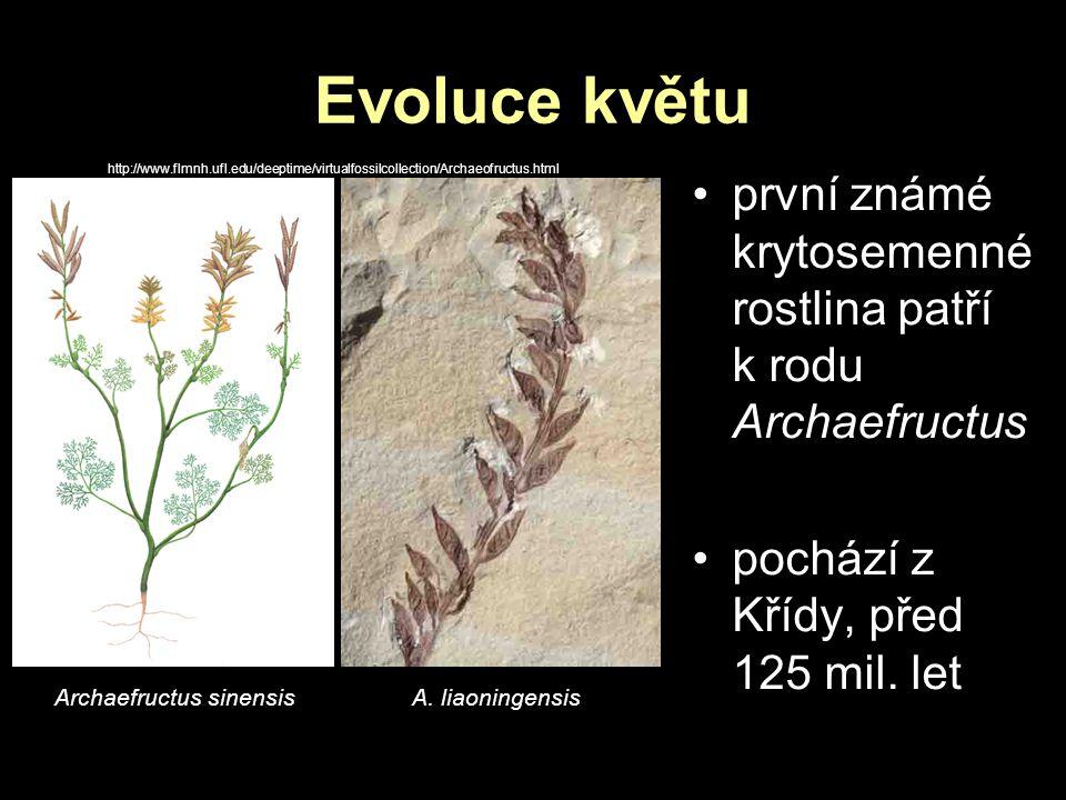 Evoluce květu první známé krytosemenné rostlina patří k rodu Archaefructus pochází z Křídy, před 125 mil. let Archaefructus sinensis A. liaoningensis