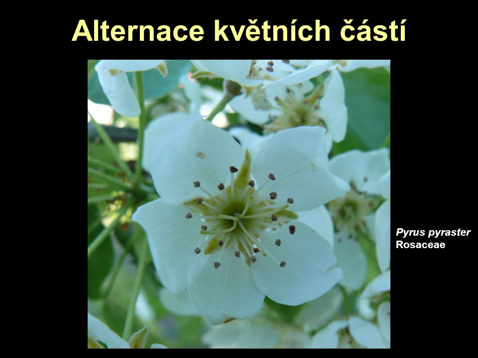 Alternace květních částí Pyrus pyraster Rosaceae