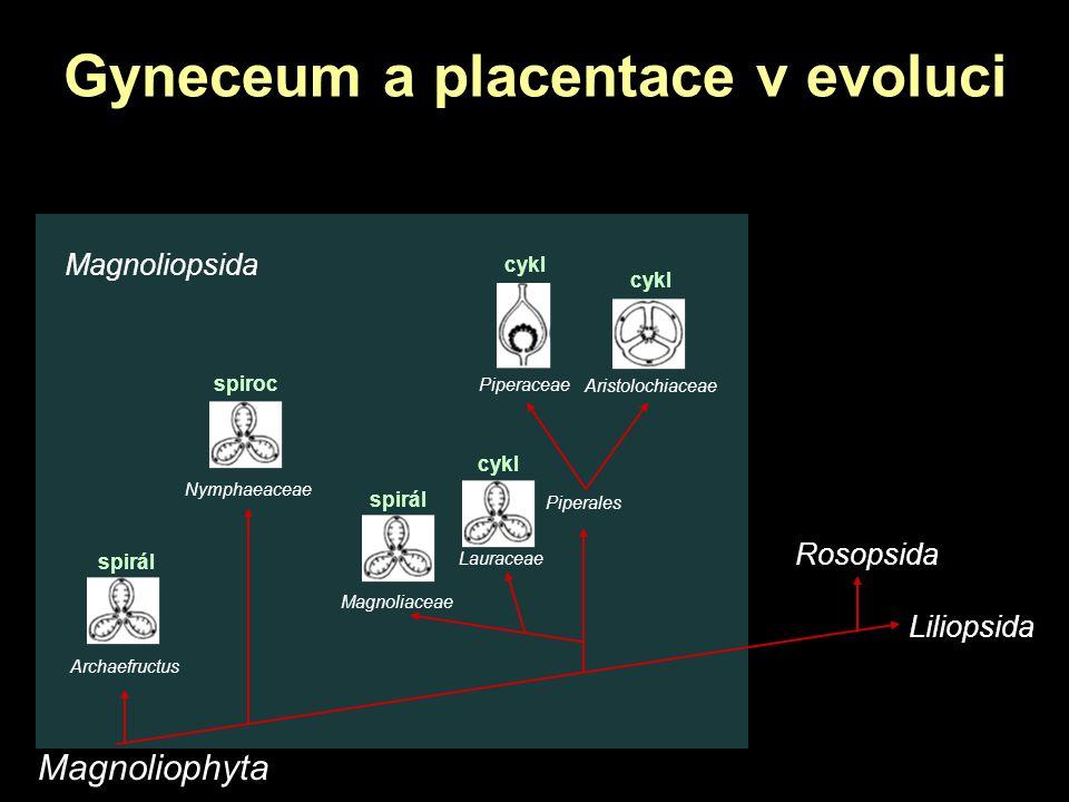 Gyneceum a placentace v evoluci Magnoliophyta Magnoliopsida Aristolochiaceae Rosopsida Liliopsida Piperaceae Piperales Magnoliaceae Archaefructus Nymp