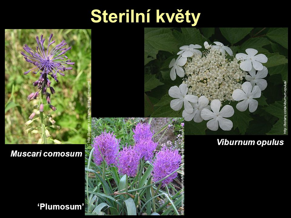 Sterilní květy Muscari comosum http://botany.cz/cs/viburnum-opulus/ Viburnum opulus http://botany.cz/cs/muscari-comosum/ http://alpinky.com/skalnicky/