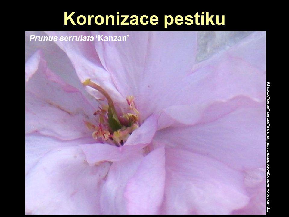Koronizace pestíku Prunus serrulata 'Kanzan' http://upload.wikimedia.org/wikipedia/commons/3/3a/Prunus_serrulata_kanzan_flowers.jpg