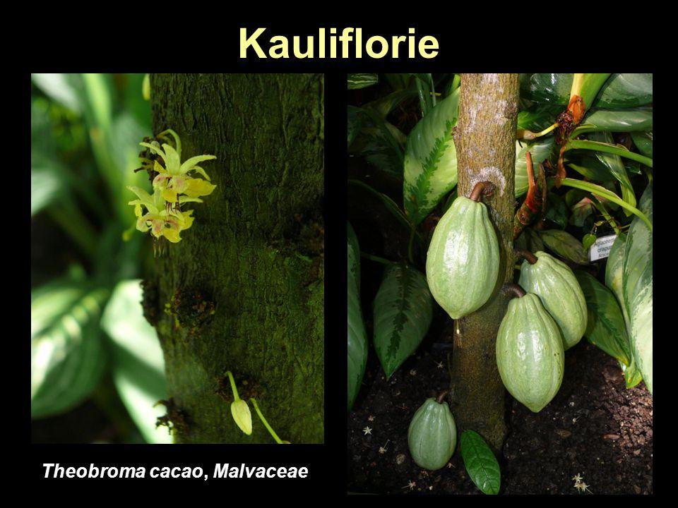 Kauliflorie Theobroma cacao, Malvaceae
