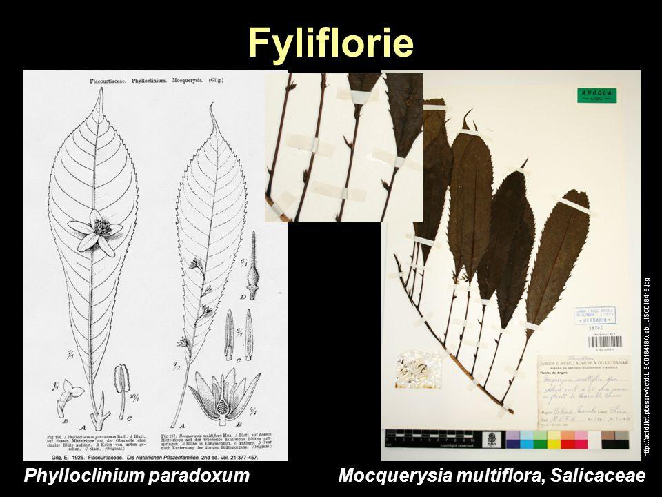 Fyliflorie http://actd.iict.pt/eserv/actd:LISC018418/web_LISC018418.jpg Mocquerysia multiflora, SalicaceaePhylloclinium paradoxum
