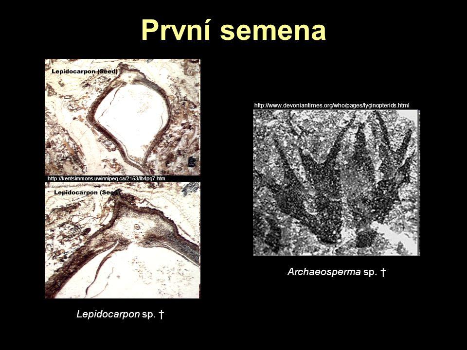 První semena http://kentsimmons.uwinnipeg.ca/2153/lb4pg7.htm Lepidocarpon sp. † Archaeosperma sp. † http://www.devoniantimes.org/who/pages/lyginopteri