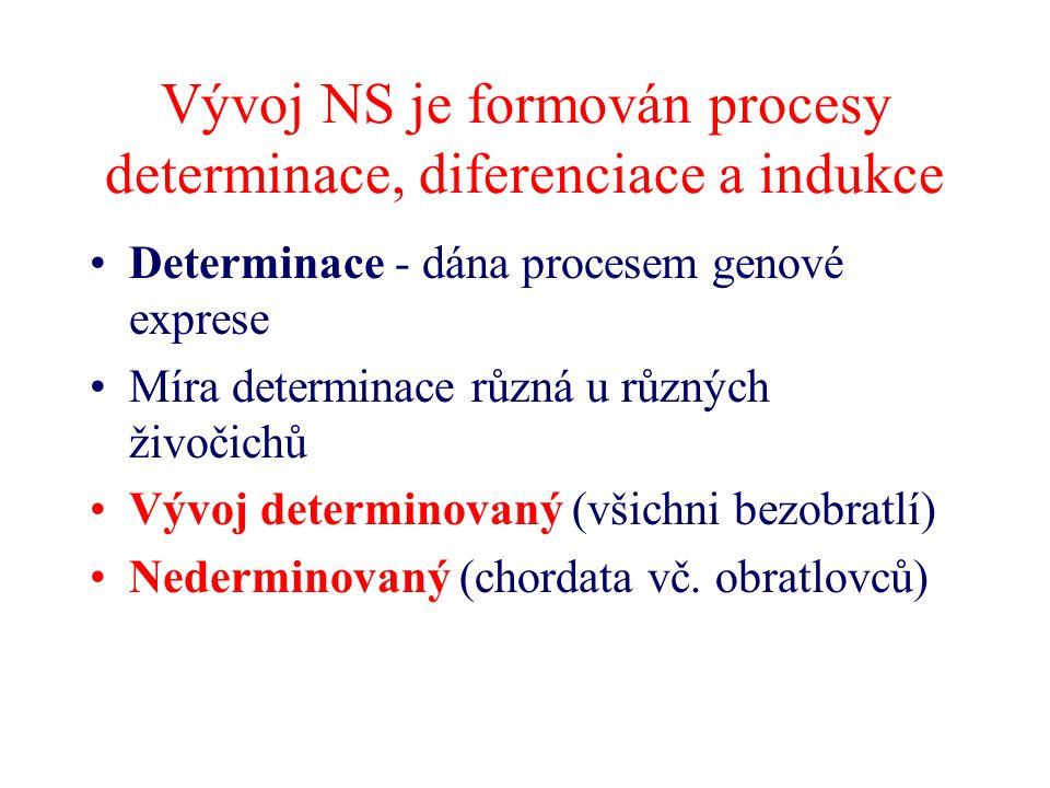 Vývoj NS je formován procesy determinace, diferenciace a indukce Determinace - dána procesem genové exprese Míra determinace různá u různých živočichů