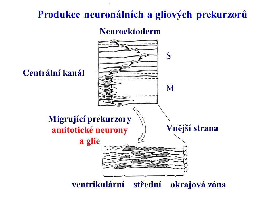Centrální kanál Vnější strana Migrující prekurzory amitotické neurony a glie ventrikulární střední okrajová zóna Neuroektoderm Produkce neuronálních a