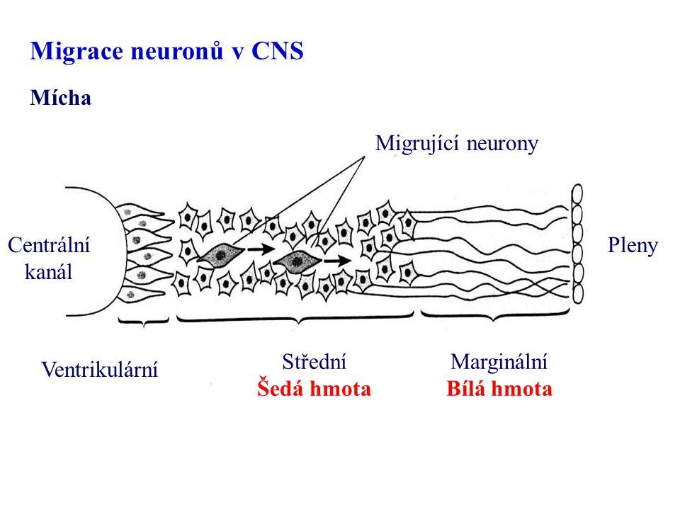 Centrální kanál Pleny Ventrikulární Střední Šedá hmota Marginální Bílá hmota Migrující neurony Mícha Migrace neuronů v CNS