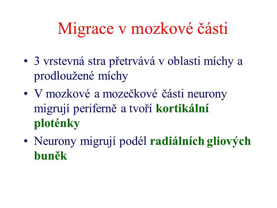 Migrace v mozkové části 3 vrstevná stra přetrvává v oblasti míchy a prodloužené míchy V mozkové a mozečkové části neurony migrují periferně a tvoří ko
