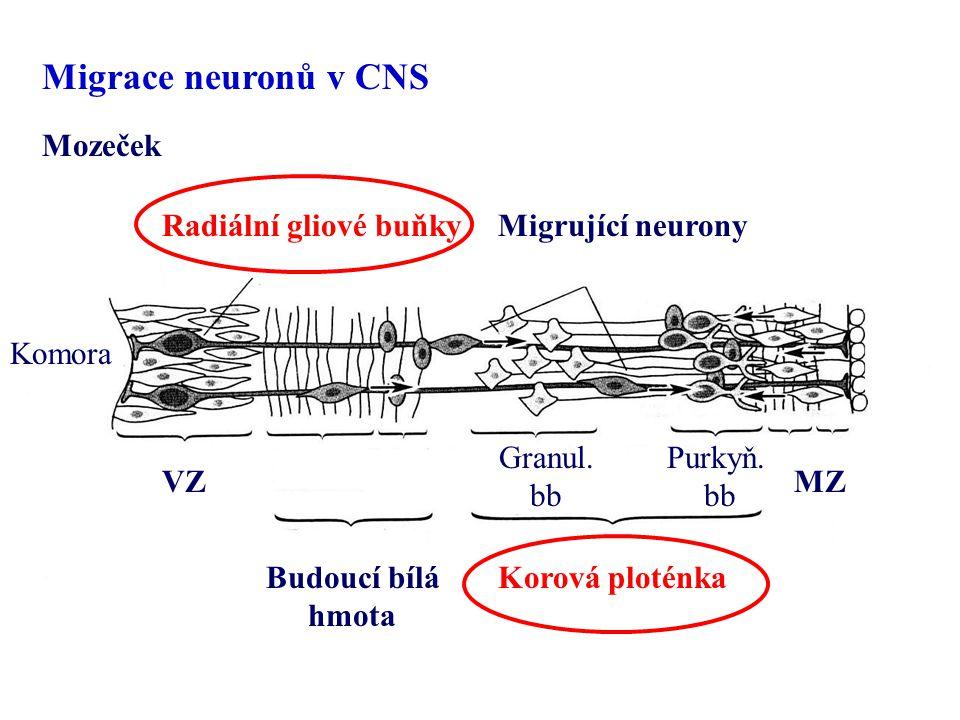 Komora Migrující neuronyRadiální gliové buňky VZ Budoucí bílá hmota Korová ploténka Purkyň. bb Granul. bb MZ Mozeček Migrace neuronů v CNS